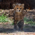 Walking Cheetah Cub, 2